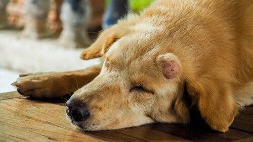 knutor hos hundar