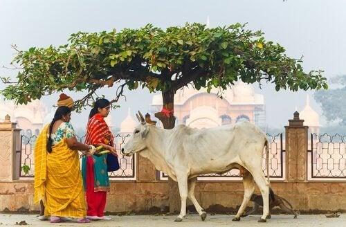 heliga djur - kon i Indien