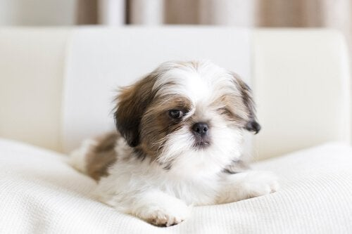 shih tzu en liten hund