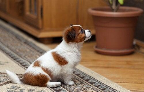 Att leva med husdjur i lägenhet: tips och tricks