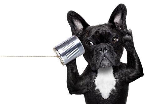 Hur man upptäcker huruvida hunden är döv