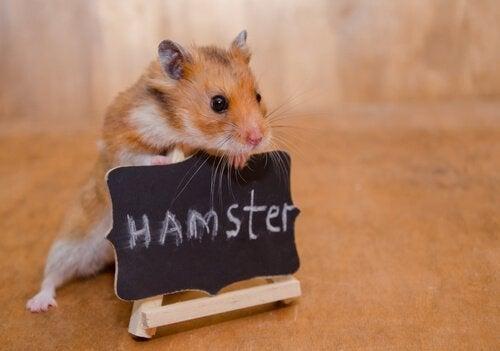 Liten med vildsint: hur man kan tämja en hamster