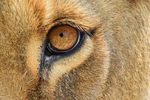 En räddad lejoninna återvänder till Afrika