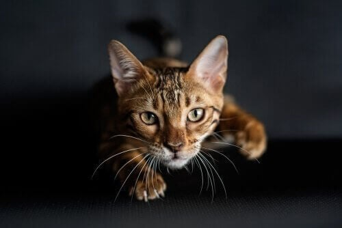 Hur lär sig katter att jaga och kan man hjälpa dem?