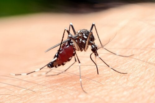 Mygga suger blod