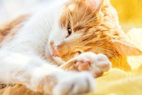 Senildemens hos katter: symptom och behandling