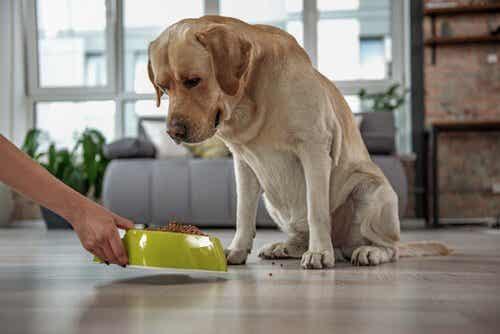 Varför finns det spannmålsfri hundmat?