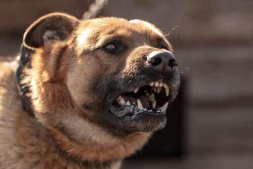 Lär dig anledningarna till varför hundar attackerar