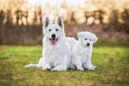 Vita herdehundar på gräset