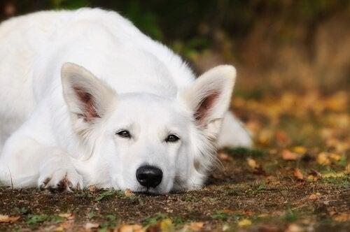 Vit herdehund liggandes