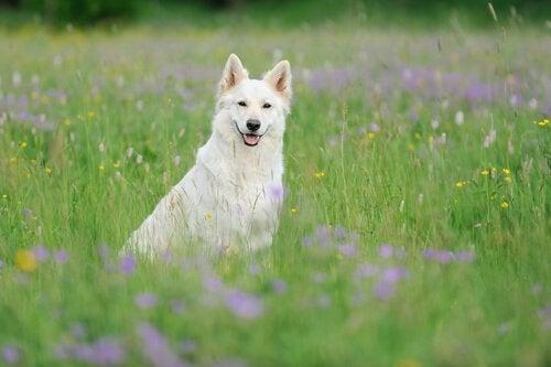 Den vackra och kloka vita herdehunden från Schweiz