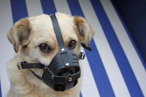 Hund med munkorg förhindrar sår
