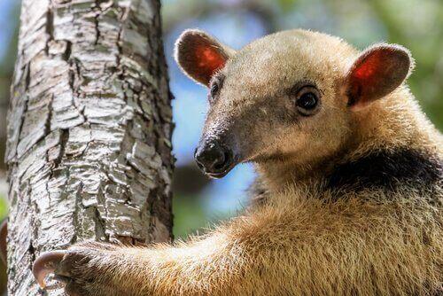 Den sydliga tamanduan: allt om den här arten