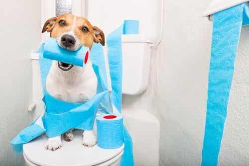 Vad gör man när en äldre hund har diarré?