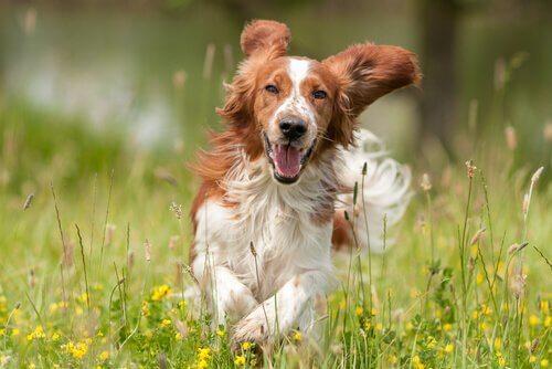 Glad hund som springer i gräset.