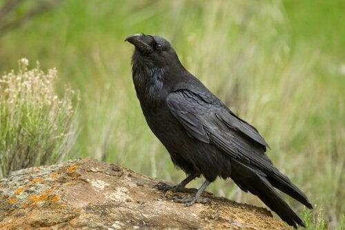 Typer av kråkor: amerikansk kråka.
