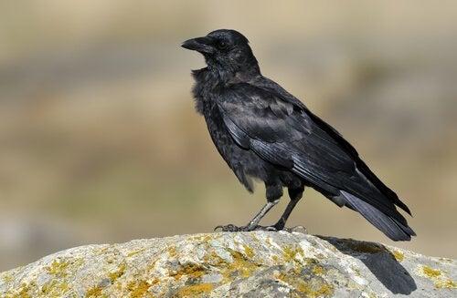 Typer av kråkor: Alaskakråka