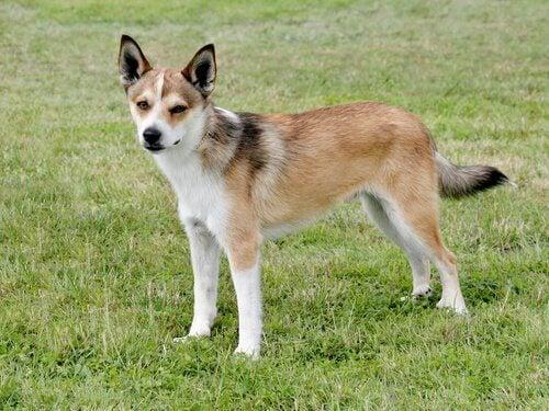 Fem typer av utrotningshotade hundraser