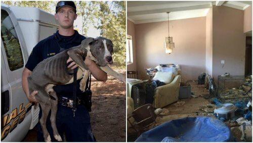 40 övergivna pitbulls räddas från extrema omständigheter