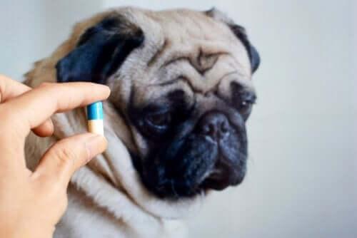 Är det bra att ge antibiotika till husdjur?