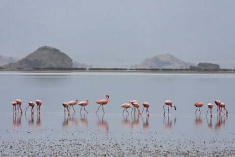 Flamingos vid Natronsjön.
