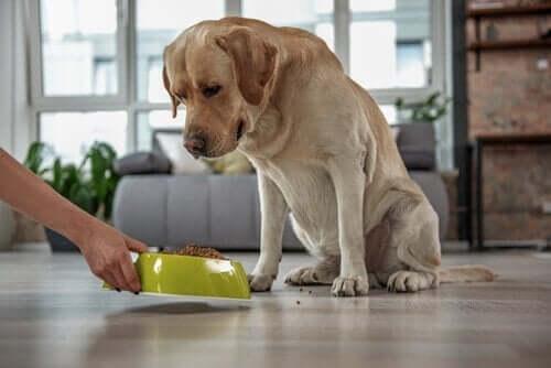 Högt kolesterol hos husdjur: symptom och behandling