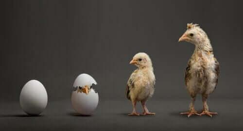 Kyckling från ägg