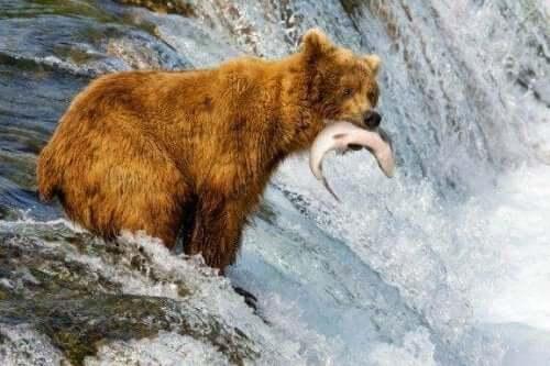 Vad är skillnaderna mellan brunbjörnar och grizzlybjörnar?