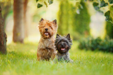 Småhundar i gräset