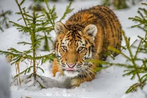 Smygande sibirisk tiger
