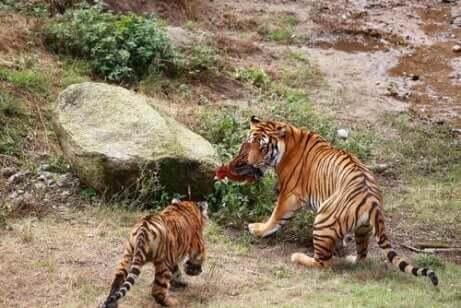 Sydkinesisk tiger