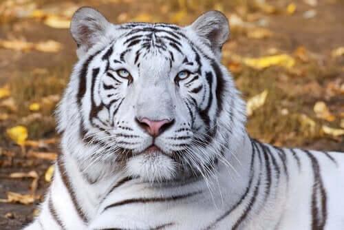 Vilande vit tiger
