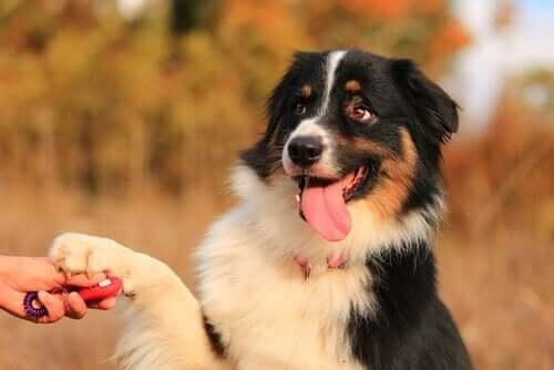 Fluffig hund skakar hand med sin ägare.