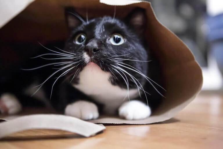 Katt som gömmer sig.