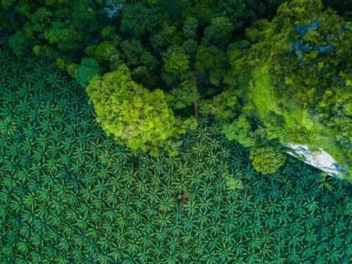 Monokultur av palm för brukning av olja.