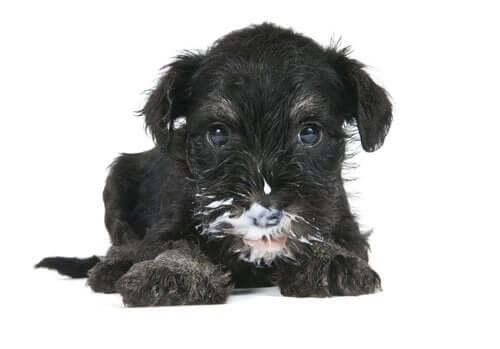Söt hundvalp med mjölkmustasch.