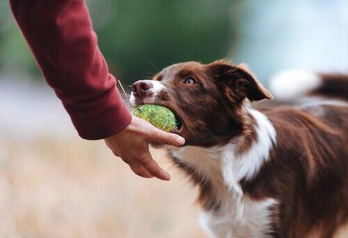 Hur du får din hund att sluta vara possessiv med sina leksaker