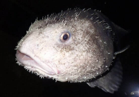 Blobfisk i sin naturliga miljö