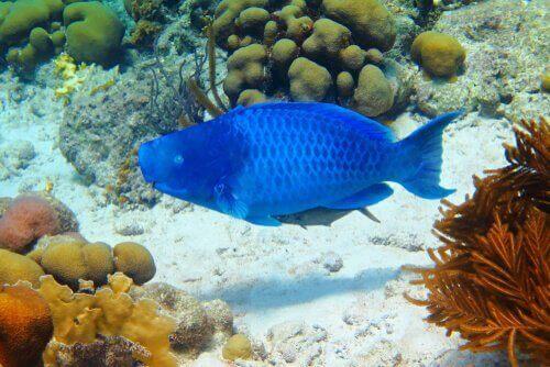 Den blå papegojfisken: information och kännetecken