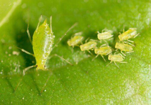De olika arterna av bladlöss och deras kännetecken