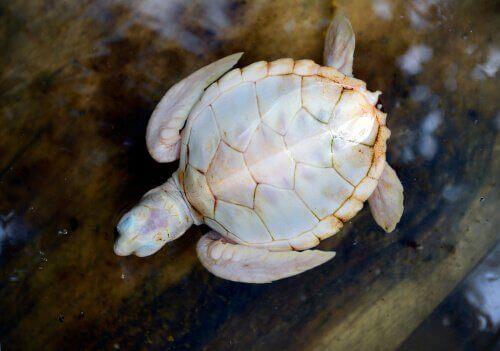 Vita sköldpaddor: allt du behöver veta om dem