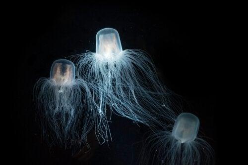 Havsgetingen: denna manets karaktärsdrag och livsmiljö