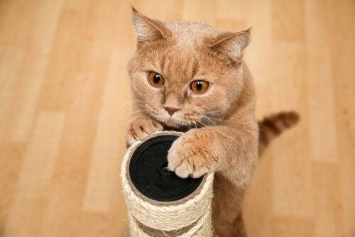 Katt vässar klorna