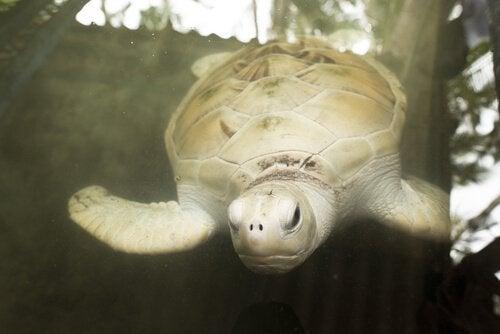 Vissa akvarier har vita skoldpaddor