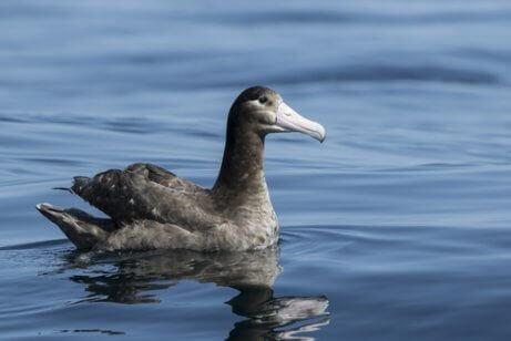 En albatross simmar i vattnet.