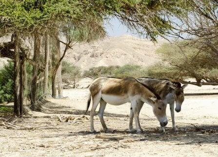 Två asiatiska vilda åsnor betar.