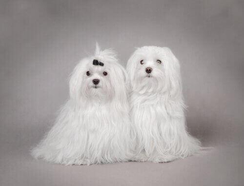 två bichon malteser med lång vit päls