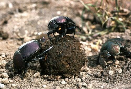 Dyngbaggar som utför sitt jobb.