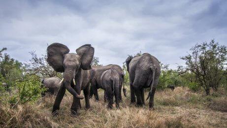 En flock elefanter med en vild elefant.