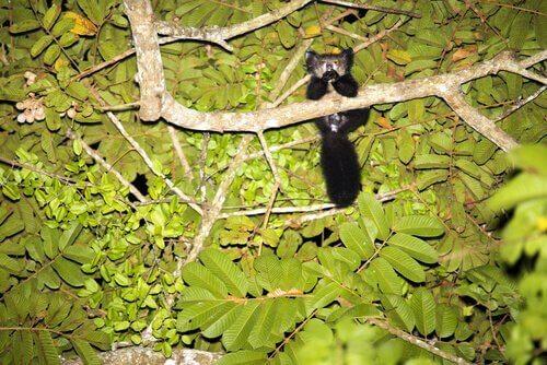 Ett fingerdjur sitter i träd på natten.